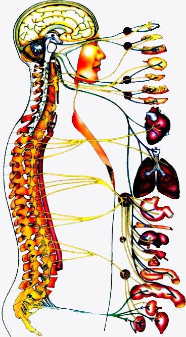 Взаимосвязь позвоночника и внутренних органов